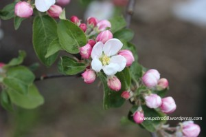 05May_AppleTreeFlowers