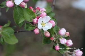 05May_AppleTreeFlowers