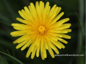 05May_Dandelion