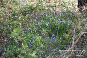 06May_Bluebells