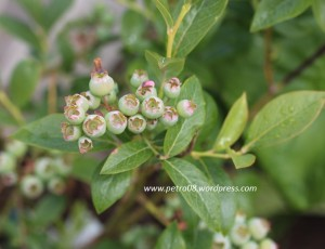 16June_BlueberryPlant