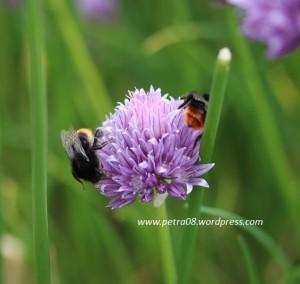 16June_Chiveflower&Bees