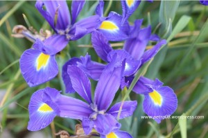 16June_IrisFlowers