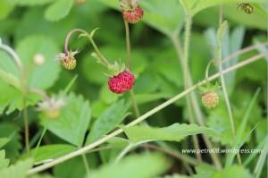 16June_WildStrawberry