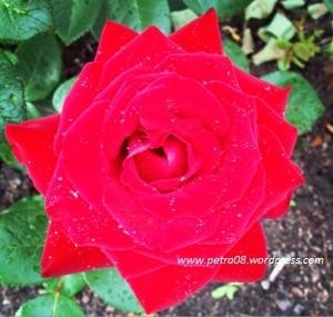 07AugSweden_Rose