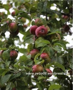 Sweden_Apples