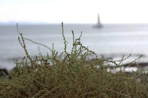 Lanzarote_BeachPlant