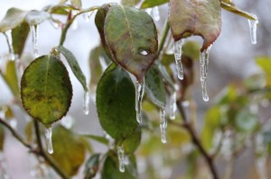 Clarksville_IceBush