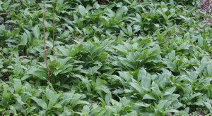 30March_WildGarlic