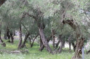 24May_OliveTrees