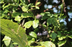 03Aug_Sloes