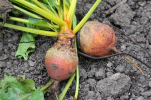 28Sept_Beetroots