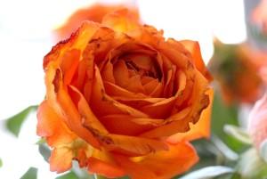 17Feb_Rose