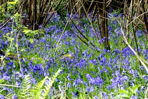 07May_Bluebells