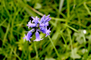 07May_BluebellsClose