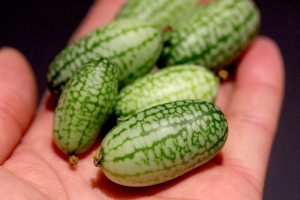 23Sept_Cucamelons
