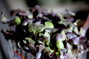 Purple radish cress