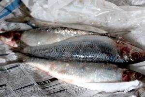 Fresh herrings
