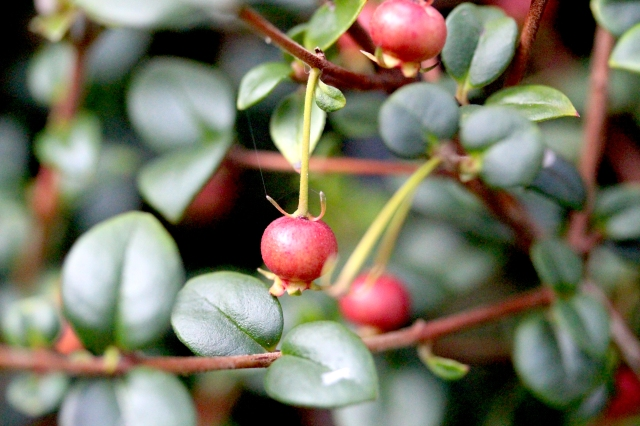 Chilean Guava Fruit