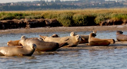 Sandwich Seal Colony