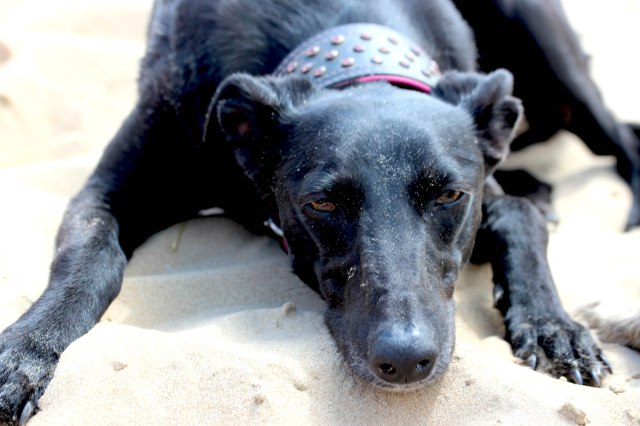 Libby the lurcher