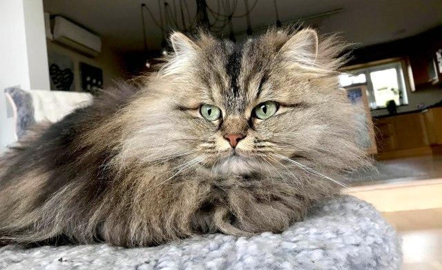 Norwegian Forrest Cat
