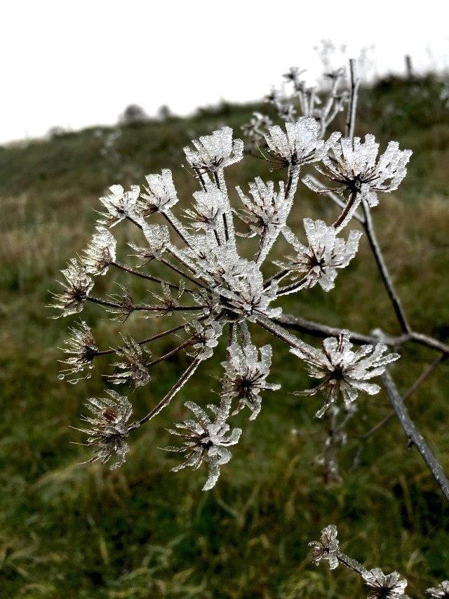 frosty wild fennel